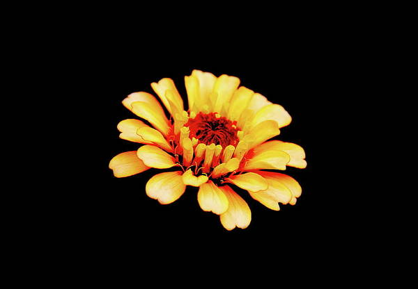 Photograph - Simple Zinnia by Allen Nice-Webb