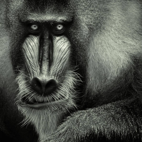 Photograph - Singapore Zoo, Mandrill by By Toonman