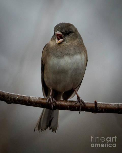 Photograph - Singing Junco 1 by Katie Joya