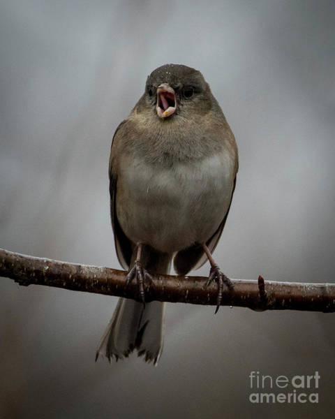 Photograph - Singing Junco 2 by Katie Joya