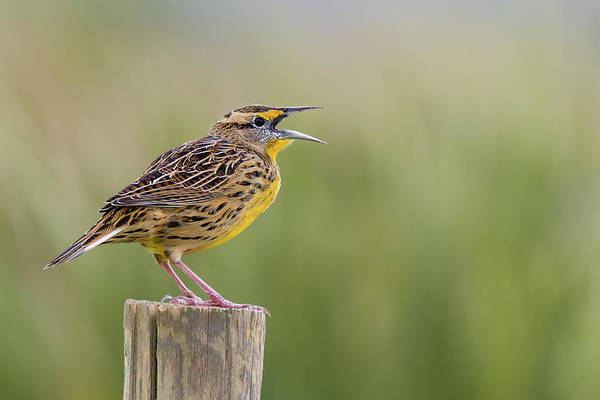 Photograph - Singing Meadowlark by Dawn Currie