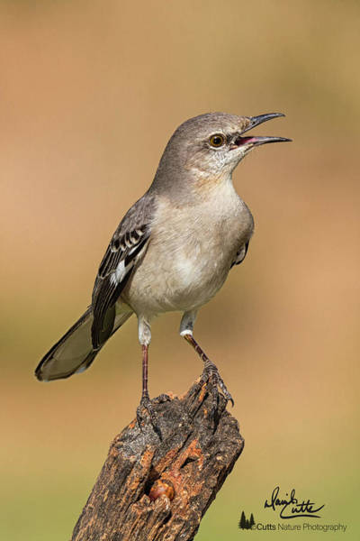Photograph - Singing Mockingbird by David Cutts