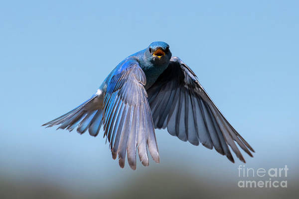 Wall Art - Photograph - Singing Wings by Mike Dawson