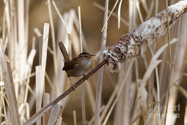Photograph - Singing Wren On Bulrush by Sue Harper