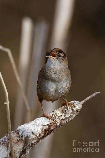 Photograph - Singing Wren by Sue Harper
