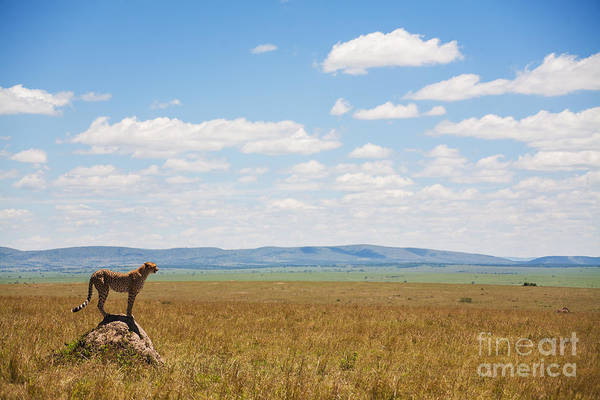 Wall Art - Photograph - Single Cheetah In The Middle Of The by Stanislavbeloglazov