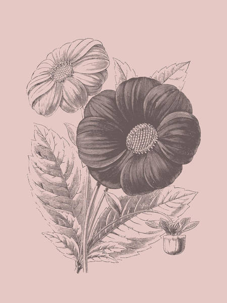 Love Mixed Media - Single Dahlias Blush Pink Flower by Naxart Studio