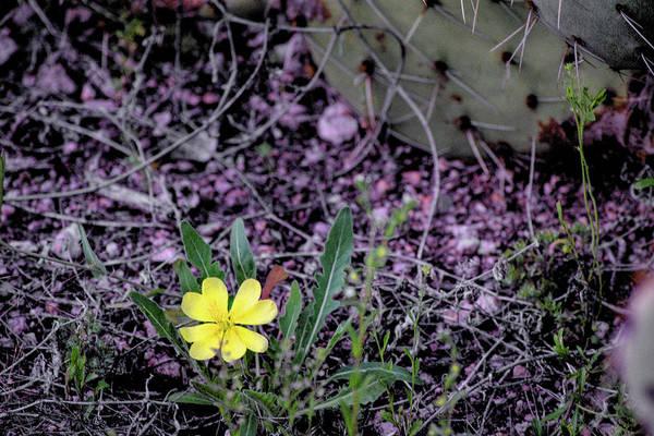 Photograph - Single Desert Flower by Chance Kafka