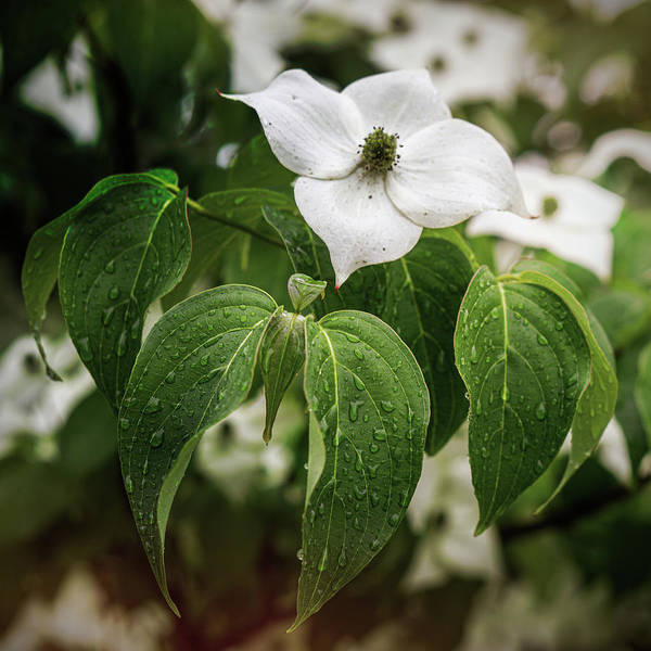 Photograph - Single Dogwood  by Jason Fink