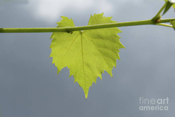 Photograph - Single Green Leaf by Christy Garavetto