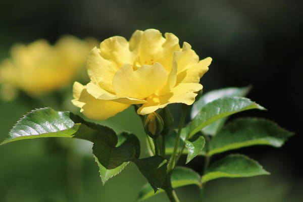 Photograph - Single La Rioja Yellow  Rose And Bud by Colleen Cornelius