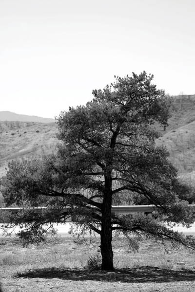 Photograph - Single Leaning Pine In Black And White by Colleen Cornelius