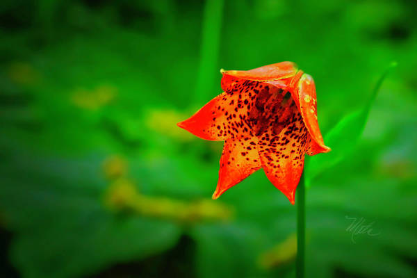 Photograph - Single Orange Grays Lily by Meta Gatschenberger