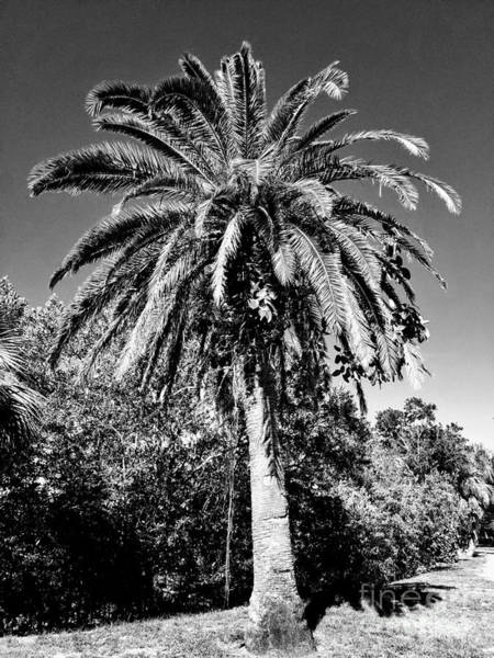 Photograph - Single Palm Tree Black And White by Rachel Hannah