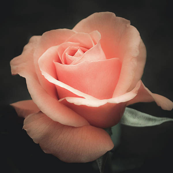 Photograph - Single Peach Rose by Julie Palencia