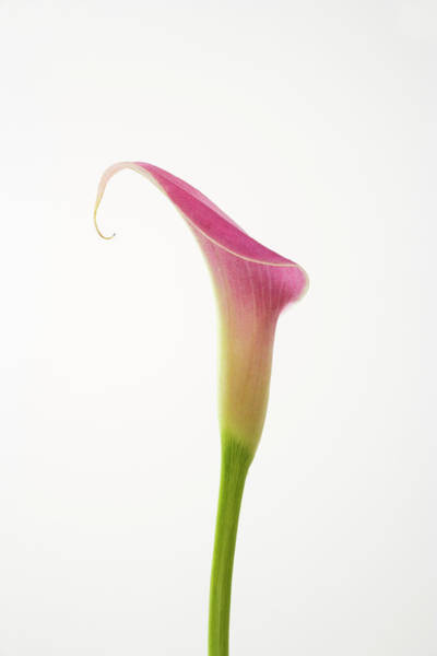 Calla Photograph - Single Pink Calla Lily Stem by Asia Images