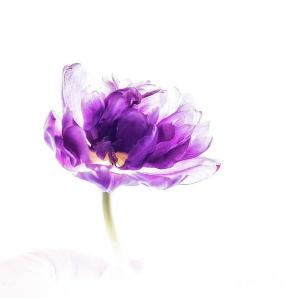Wall Art - Photograph - Single Purple Tulip by Flo Photography