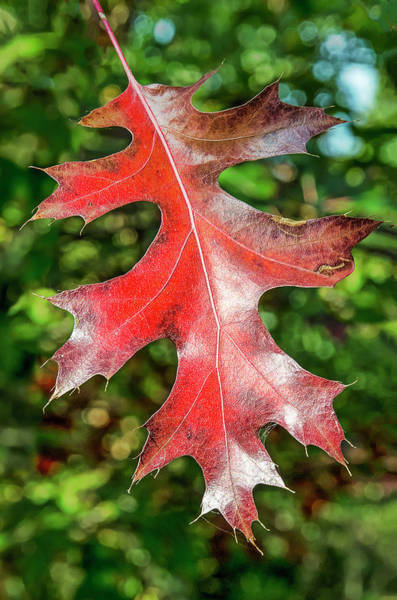 Photograph - Single Red Oak Leaf by Frans Blok