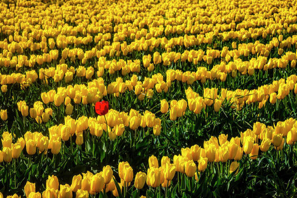 Wall Art - Photograph - Single Red Tulip In Yellow Tulip Field by Garry Gay