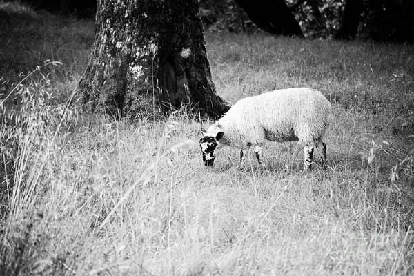 Wall Art - Photograph - Single Rough Fell Sheep Grazing In Hill Country Lake District National Park, England, Uk by Joe Fox