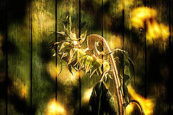 Photograph - Single Sunflower Zwei by Wolfgang Stocker