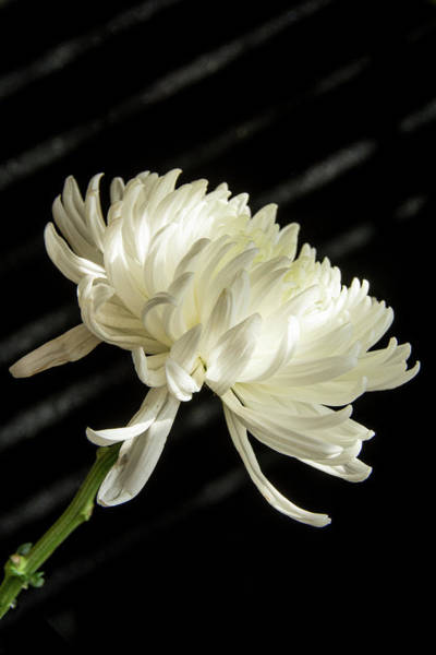 Photograph - Single White Flower by Jennifer Wick