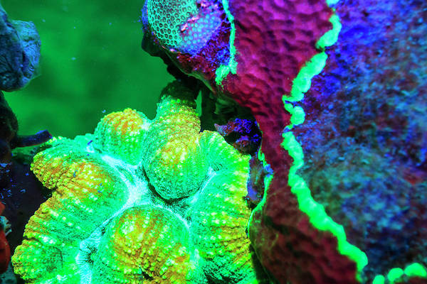 Wall Art - Photograph - Sinuous Coral, Day Fluorescing, Palau by Stuart Westmorland