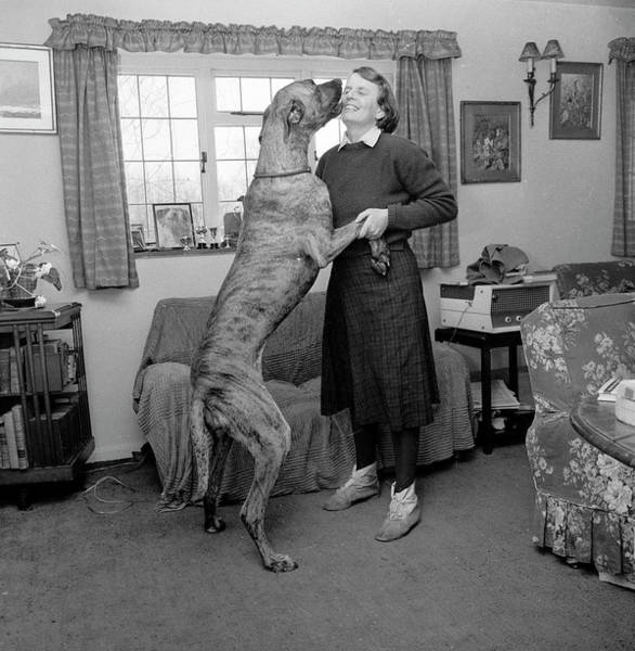 Great Dane Photograph - Sit by John Drysdale