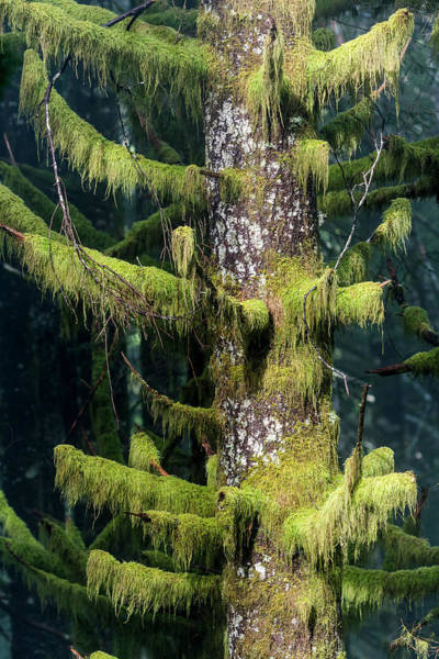 Photograph - Sitka Spruce And Moss by Robert Potts