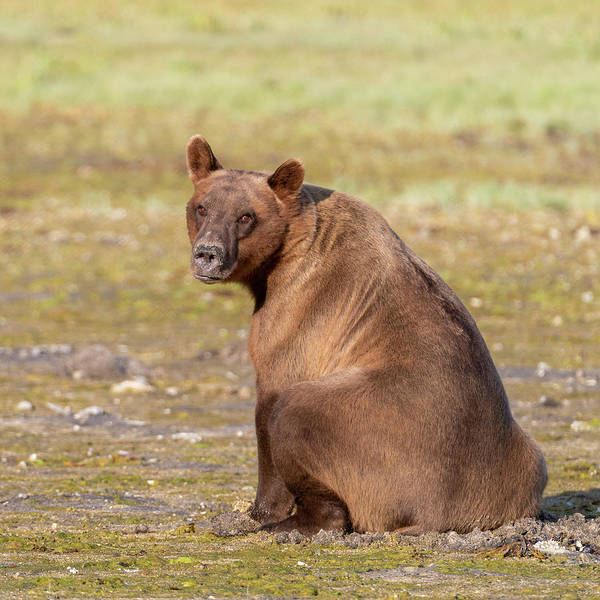 Photograph - Sitting Brown Bear by Mark Hunter
