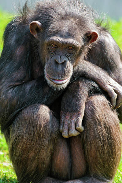 In The Grass Photograph - Sitting Calm Chimpanzee by Picture By Tambako The Jaguar
