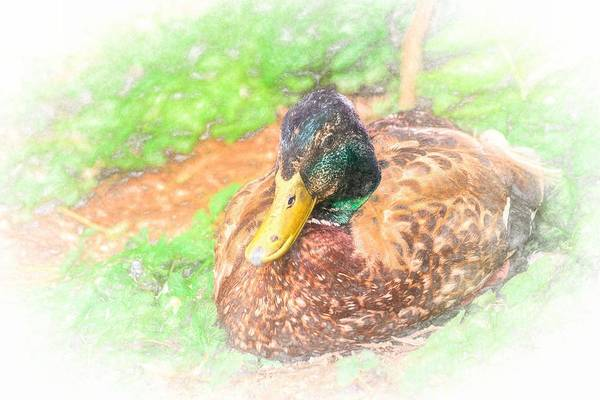 Photograph - Sitting Duck Chalk Smudge by Don Northup