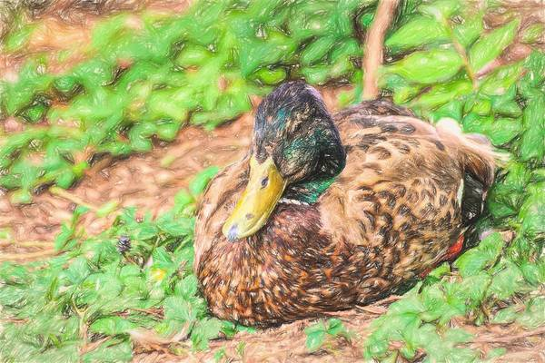 Photograph - Sitting Duck Colored Pencil by Don Northup
