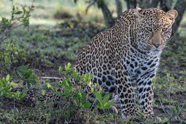 Photograph - Sitting Leopard In The Maasai Mara by Mark Hunter
