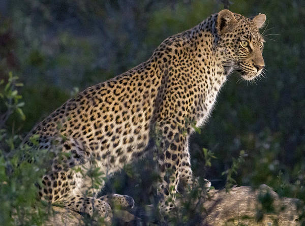 Photograph - Sitting Leopard by Mark Hunter
