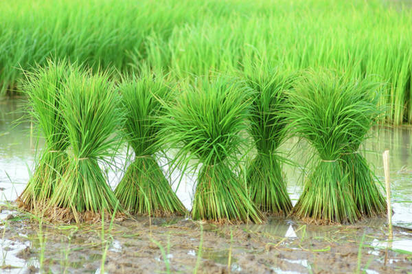 Wall Art - Photograph - Six Rice Bundles On Marshy Land by Pailoolom