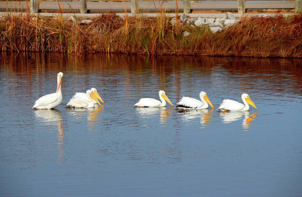Photograph - Six White Pelicans by Cynthia Guinn