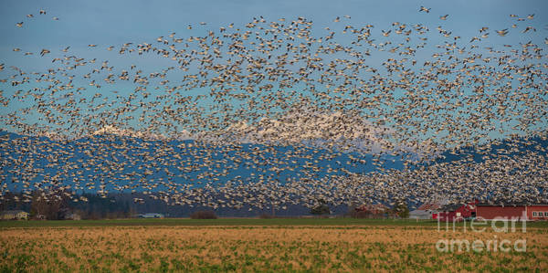 Wall Art - Photograph - Skagit Snow Geese Storm by Mike Reid