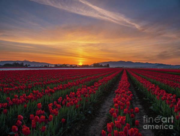 Mount Vernon Photograph - Skagit Valley Tulips Sunrise Sun Pillar by Mike Reid