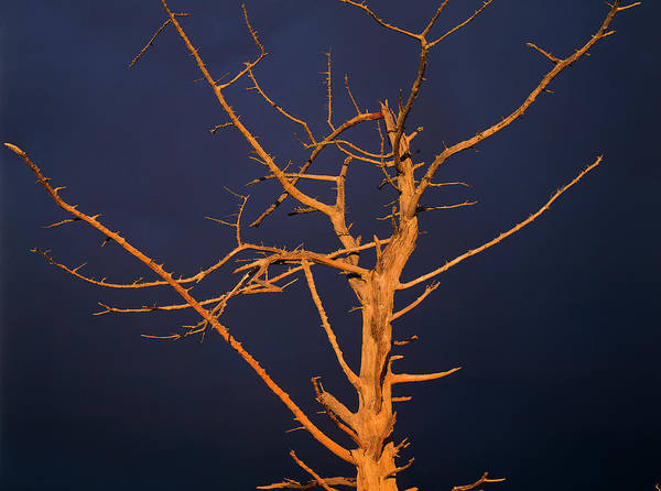 Photograph - skeleton Tree by Robert Potts