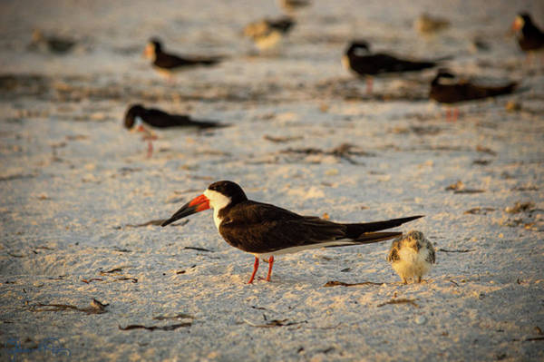 Photograph - Skimmers At Sunrise by Susan Molnar