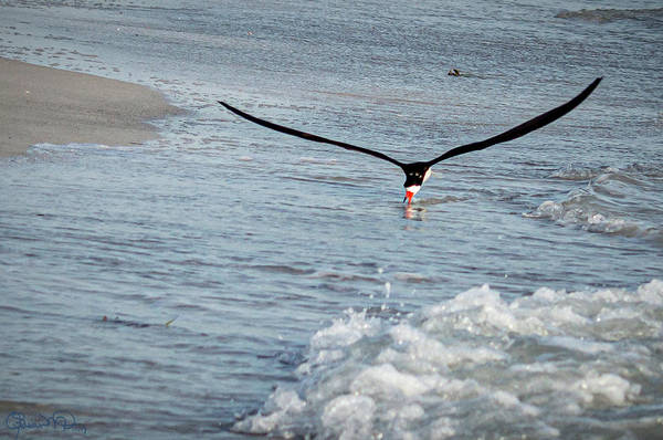 Photograph - Skimming For Fish by Susan Molnar