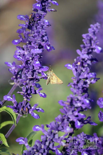 Photograph - Skipper In The Salvia by Carol Groenen