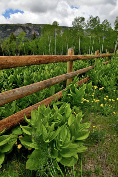 Photograph - Skunk Cabbage And Fence In Big Cimarron by Ray Mathis