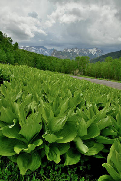 Photograph - Skunk Cabbage In Big Cimarron by Ray Mathis
