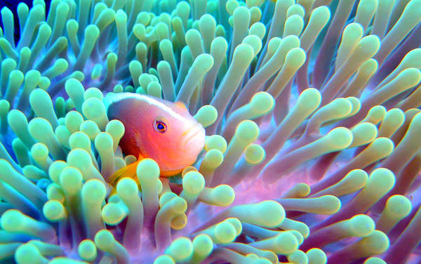 Skunk Photograph - Skunk Clownfish And Sea Anemone by Takau99