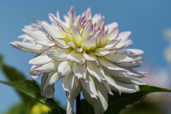 Photograph - Sky Dahlia by Robert Potts