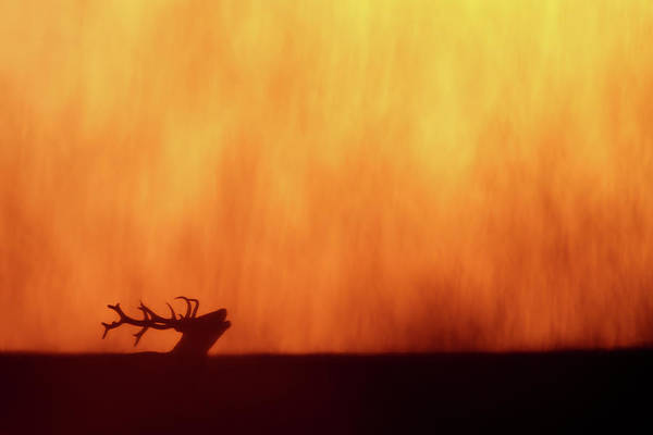 Wall Art - Photograph - Sky On  Fire - Bellowing Red Deer At Sunset by Roeselien Raimond