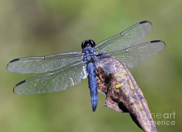 Photograph - Slaty Skimmer Dragonfly  by Kerri Farley