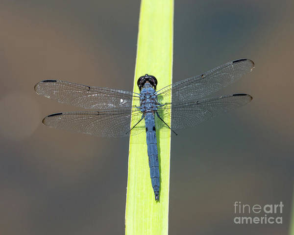 Photograph - Slaty Skimmer Dragonfly by Kevin McCarthy